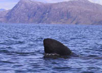 basking shark from sailing canoe