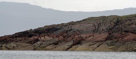 shags on folded rock,Iona
